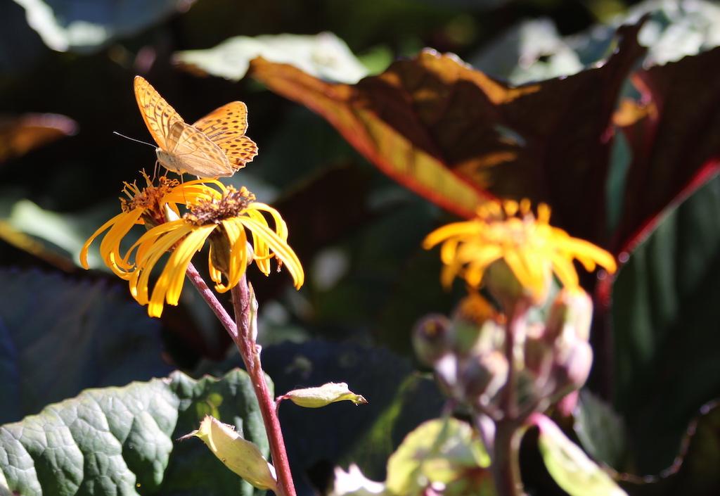 blommor skogspärelmorfjäril