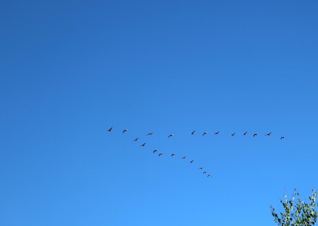 fågel plog