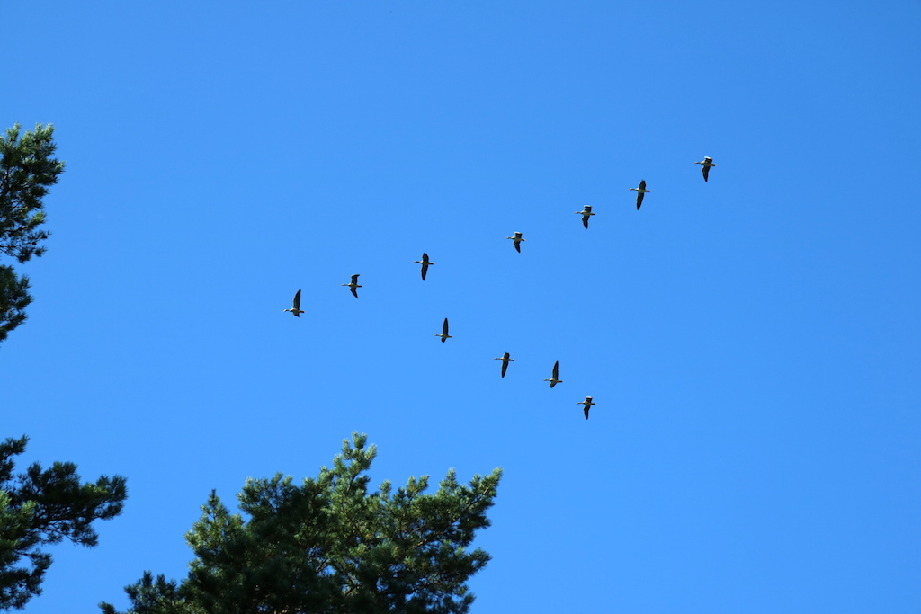 formation fågelplog