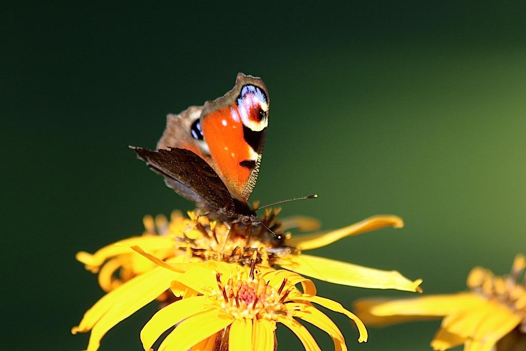 påfågelöga blomma