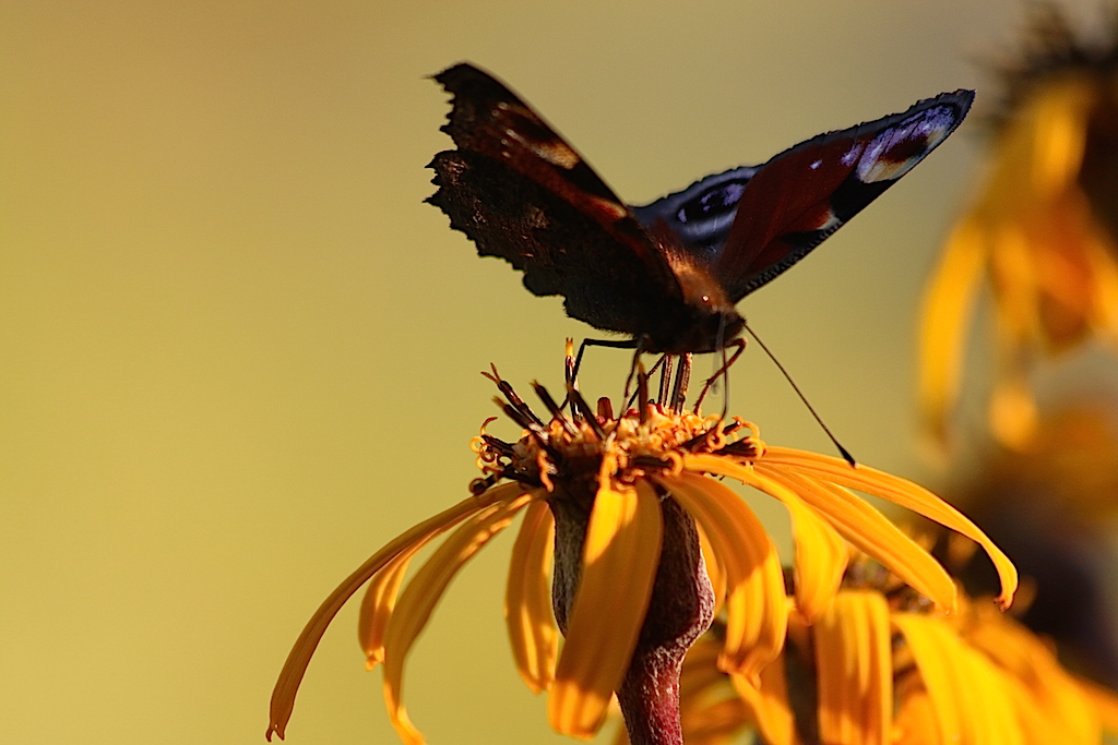 redigerad fjäril