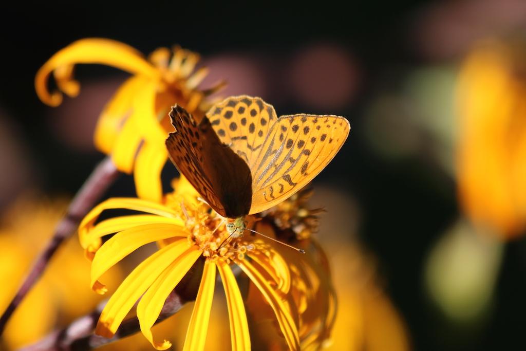 skogspärlemorfjäril ögon