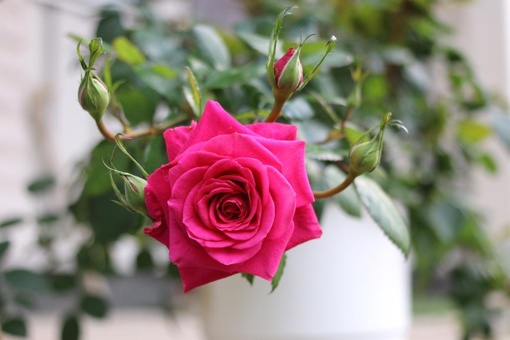 pink ros