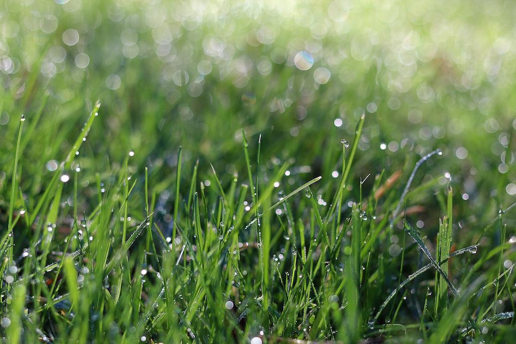 dagg på gräsmattan