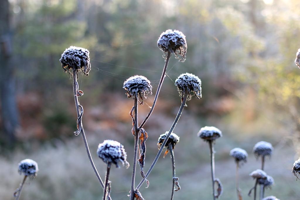 frost blommor