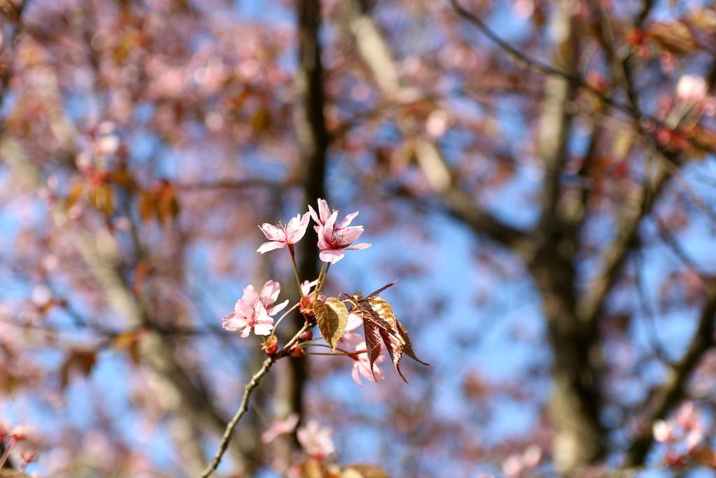 rosa blommor korsbar